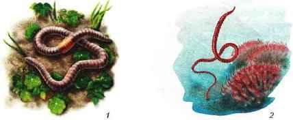 Представители малощетинковых червей