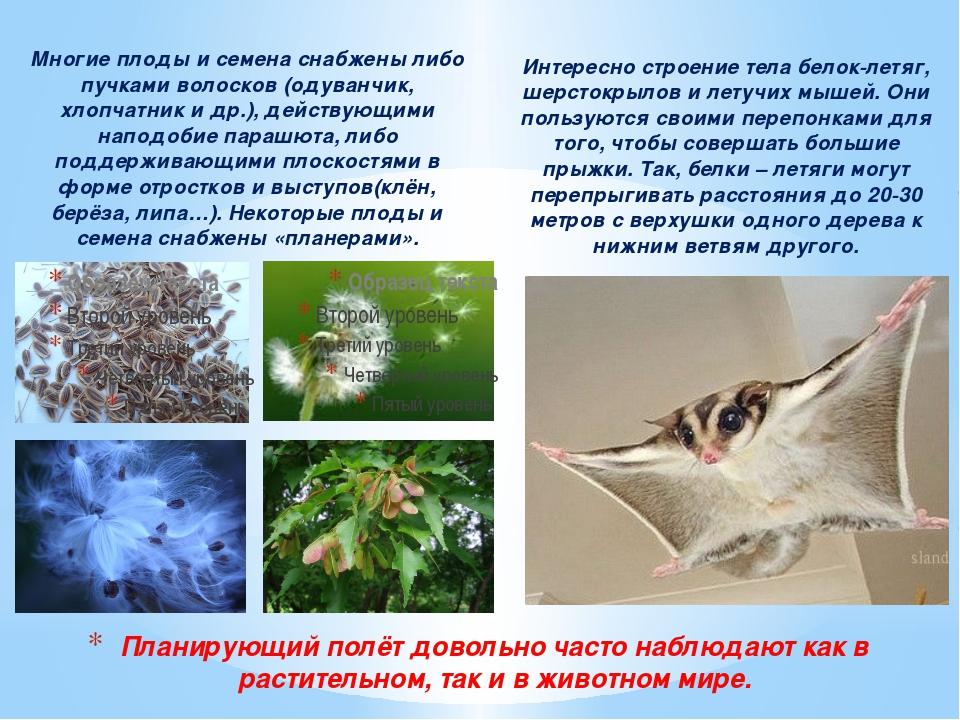 Многие плоды и семена снабжены либо пучками волосков (одуванчик, хлопчатник и...