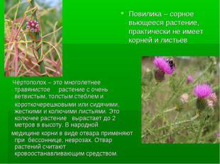 Повилика – сорное вьющееся растение, практически не имеет корней и листьев Че