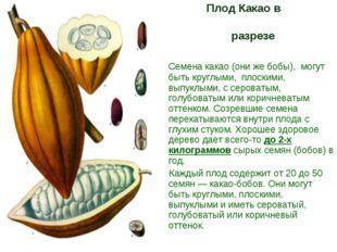 Плод Какао в разрезе Семена какао (они же бобы), могут быть круглыми, плоски