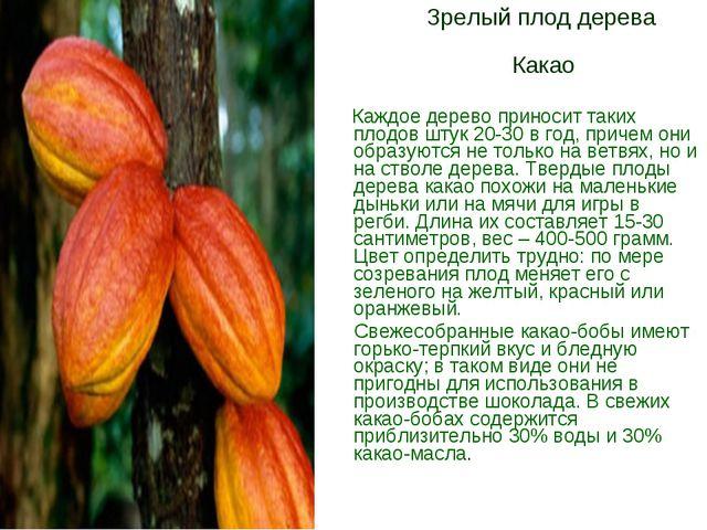 Зрелый плод дерева Какао Каждое дерево приносит таких плодов штук 20-30 в го...