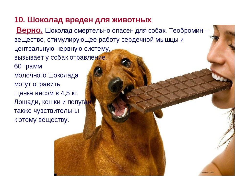 10. Шоколад вреден для животных Верно. Шоколад смертельно опасен для собак. Т...