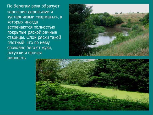 По берегам река образует заросшие деревьями и кустарниками «карманы», в кото...
