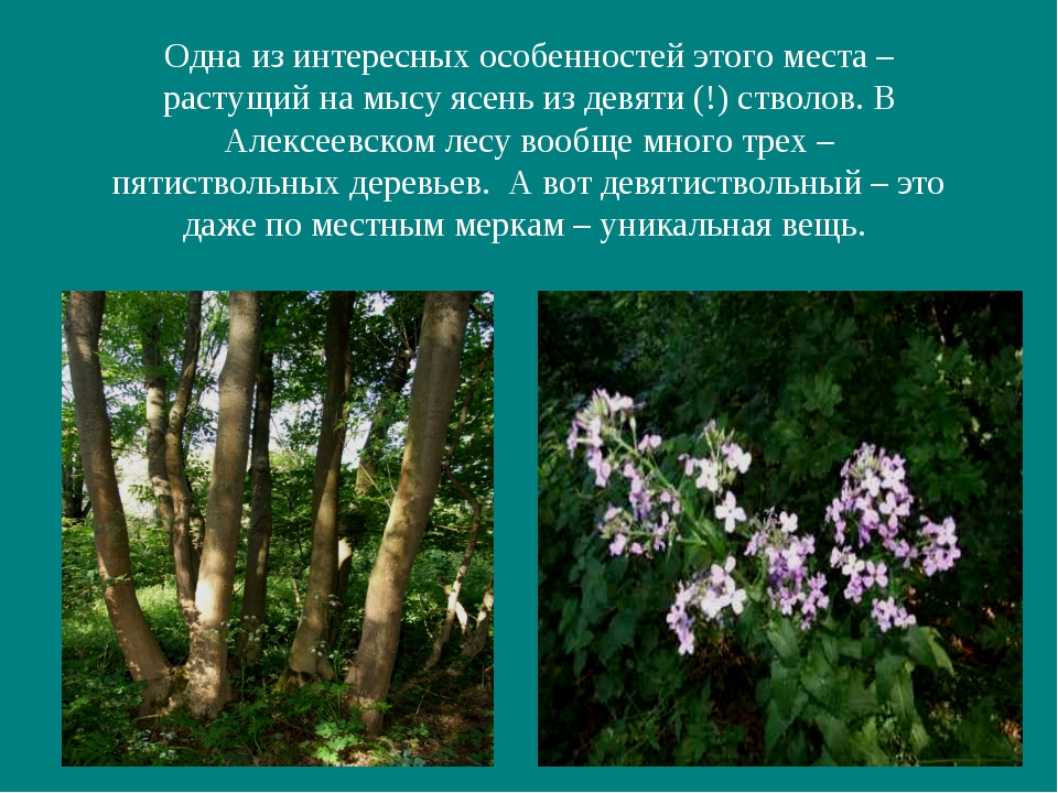 Одна из интересных особенностей этого места – растущий на мысу ясень из девят...