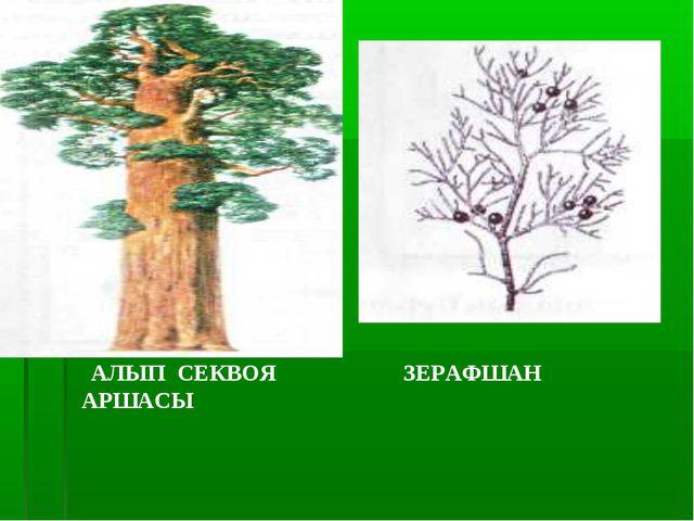 АЛЫП СЕКВОЯ ЗЕРАФШАН АРШАСЫ