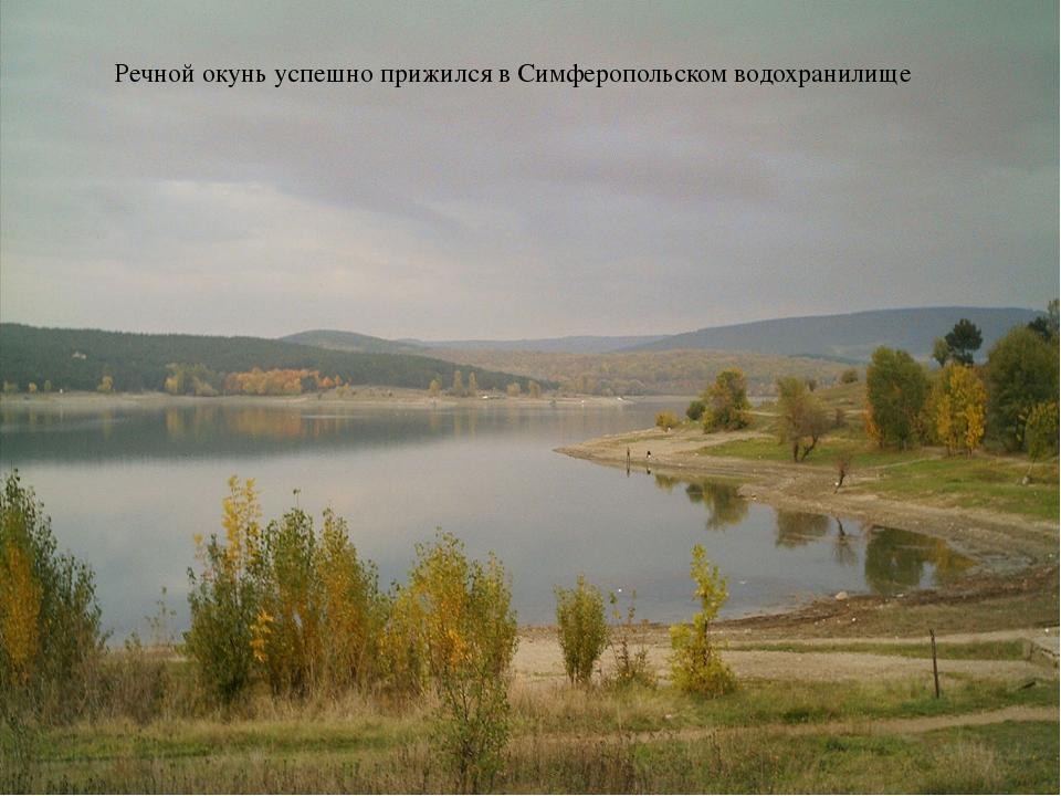 Речной окунь успешно прижился в Симферопольском водохранилище