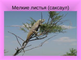 Мелкие листья (саксаул)