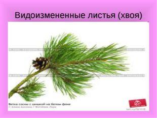 Видоизмененные листья (хвоя)