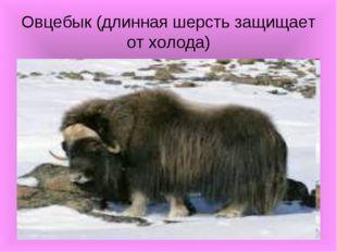 Овцебык (длинная шерсть защищает от холода)