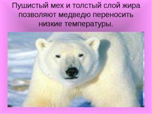 Пушистый мех и толстый слой жира позволяют медведю переносить низкие температ