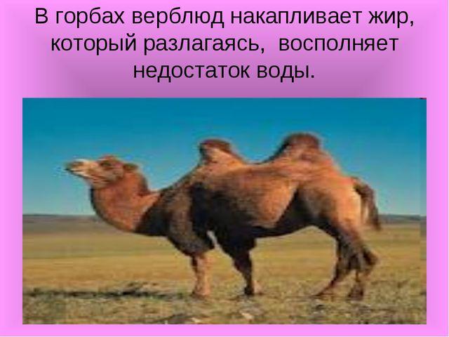 В горбах верблюд накапливает жир, который разлагаясь, восполняет недостаток в...