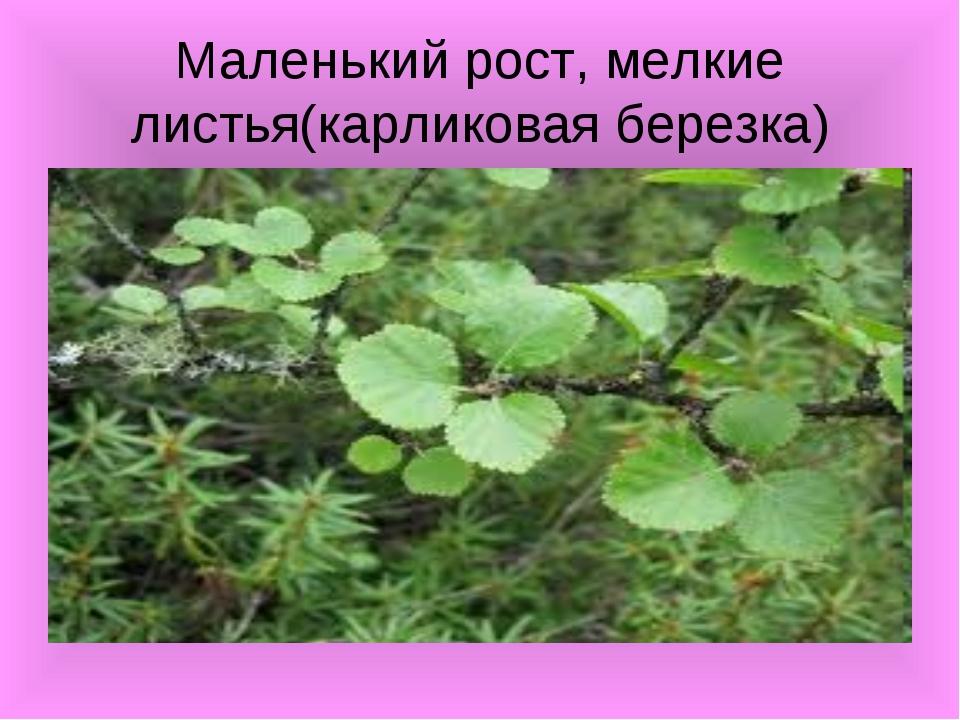 Маленький рост, мелкие листья(карликовая березка)