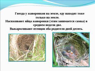 Гнезда у жаворонков на земле, еду находят тоже только на земле. Насиживают я