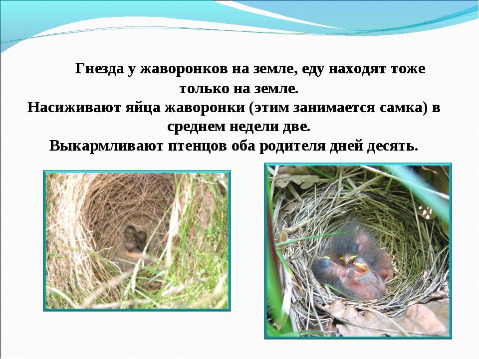 Гнезда у жаворонков на земле, еду находят тоже только на земле. Насиживают я...