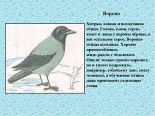 Ворона Хитрая, ловкая и находчивая птица. Голова, клюв, горло, хвост и лапы