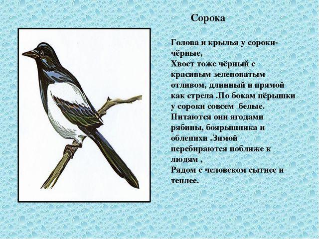 Сорока Голова и крылья у сороки- чёрные, Хвост тоже чёрный с красивым зелено...