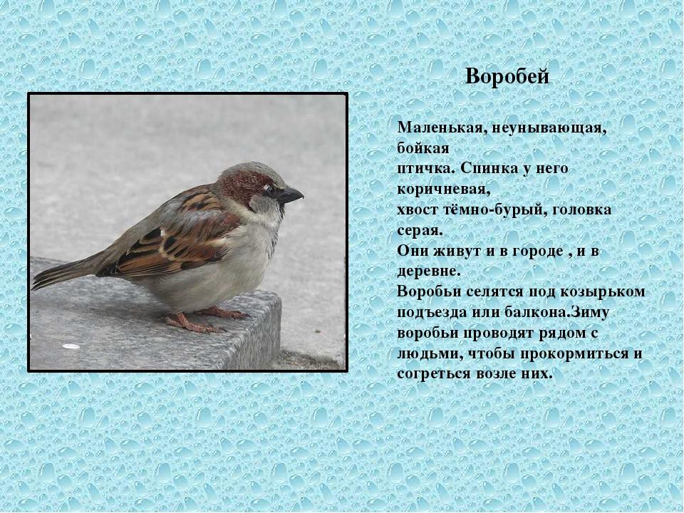 Воробей Маленькая, неунывающая, бойкая птичка. Спинка у него коричневая, хво...