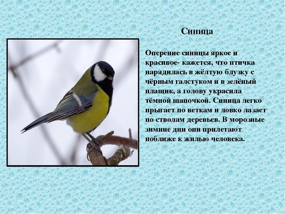 Синица Оперение синицы яркое и красивое- кажется, что птичка нарядилась в жё...