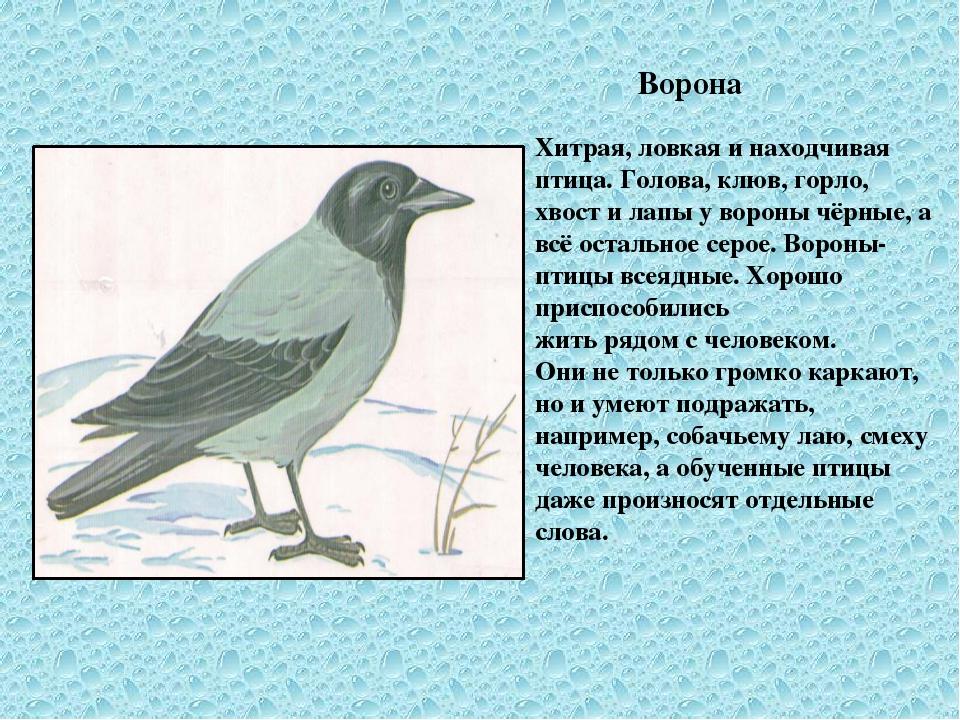 Ворона Хитрая, ловкая и находчивая птица. Голова, клюв, горло, хвост и лапы...