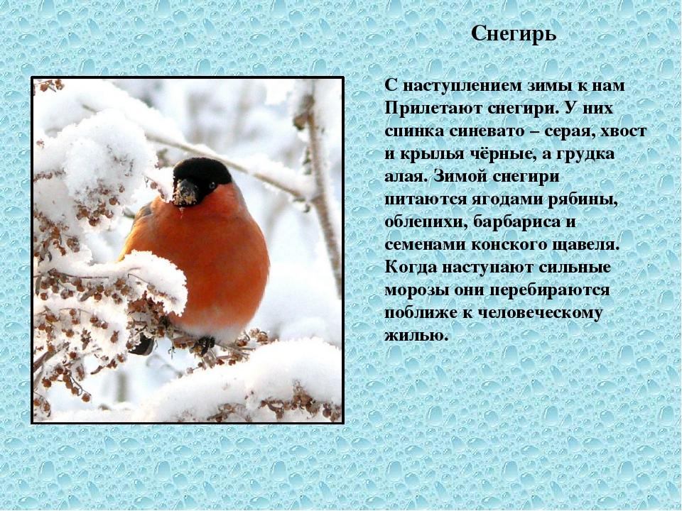 Снегирь С наступлением зимы к нам Прилетают снегири. У них спинка синевато –...