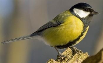 http://birds-altay.ru/wp-content/uploads/2010/02/44-350x215.jpg