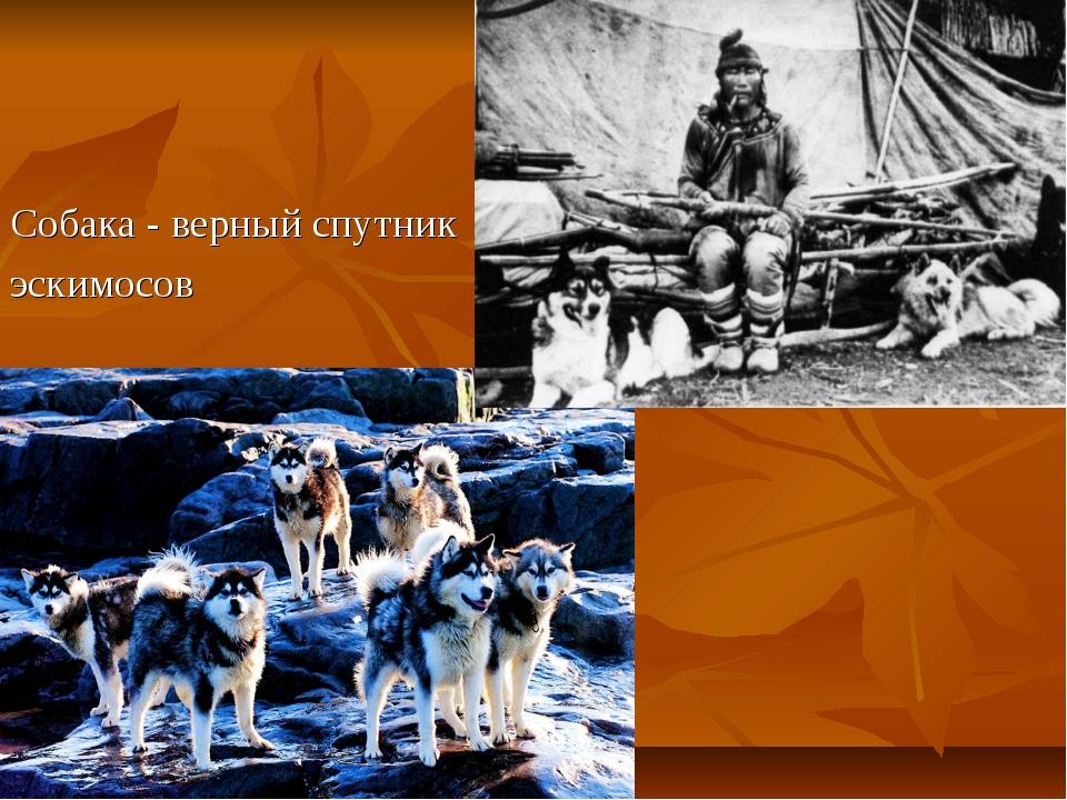 Собака - верный спутник эскимосов