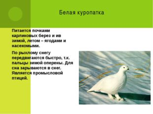 Белая куропатка Питается почками карликовых берез и ив зимой, летом – ягодами