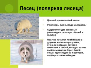 Песец (полярная лисица) Ценный промысловый зверь. Роют норы для вывода молодн