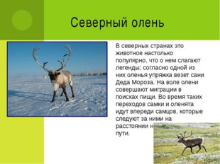 Северный олень В северных странах это животное настолько популярно, что о нем