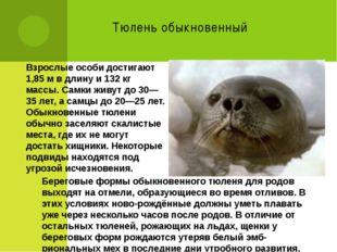 Тюлень обыкновенный Взрослые особи достигают 1,85м в длину и 132 кг массы. С