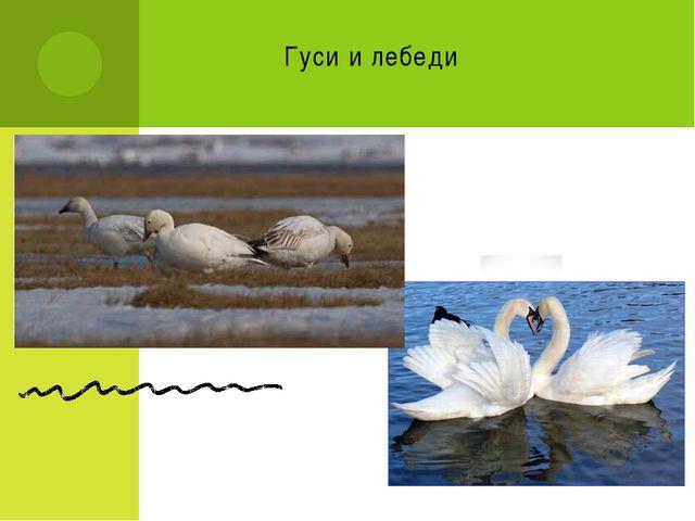 Гуси и лебеди
