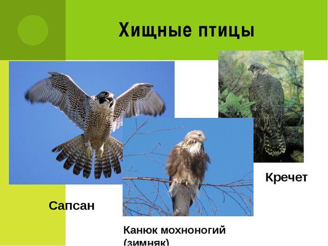 Хищные птицы Сапсан Кречет Канюк мохноногий (зимняк)