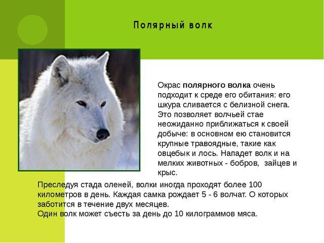 Полярный волк Окрас полярного волка очень подходит к среде его обитания: его...