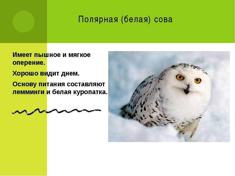 Полярная (белая) сова Имеет пышное и мягкое оперение. Хорошо видит днем. Осно...