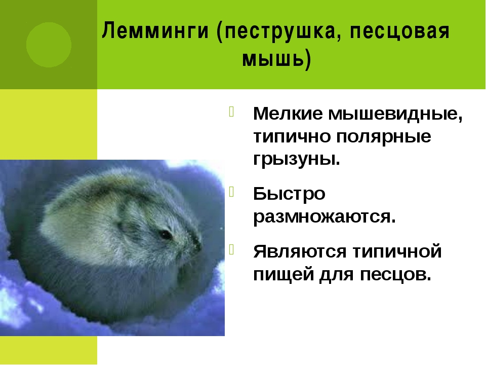 Лемминги (пеструшка, песцовая мышь) Мелкие мышевидные, типично полярные грызу...