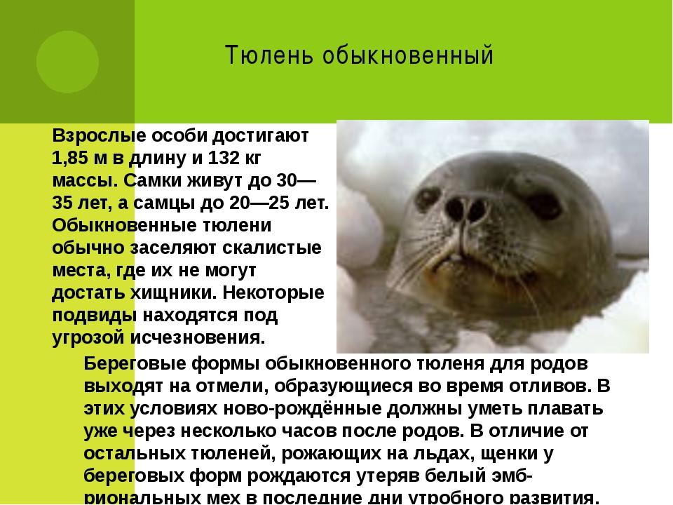 Тюлень обыкновенный Взрослые особи достигают 1,85м в длину и 132 кг массы. С...