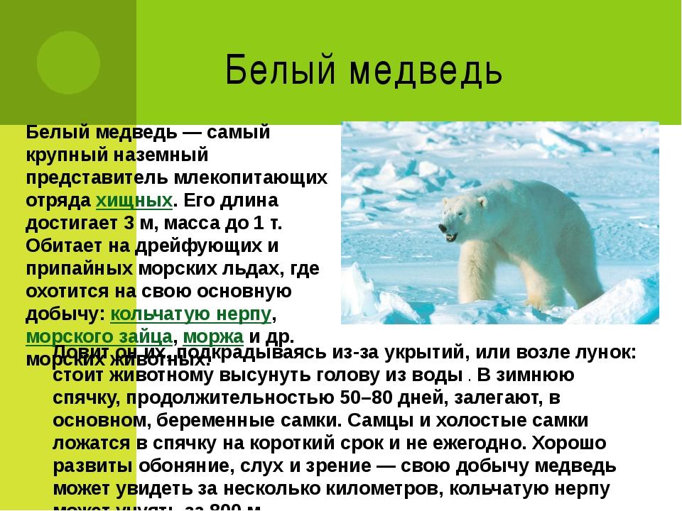 Белый медведь Белый медведь— самый крупный наземный представитель млекопитаю...