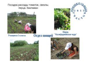 Посадка рассады томатов, свеклы, перца, баклажан