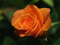 Разрешение 2048x2048, Роза, оранжевая, роса, яркая. капли, уже 16984-я картинка в базе zwalls.ru
