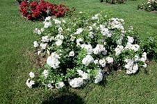 Парковые розы: свита для королевы Любимая ДАЧА