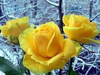 Желтая роза цвета разлуки.