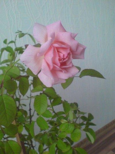 чайная роза: 6 $ - Комнатные растения в Минске на Slando