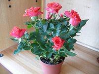 миниатюрная роза - Ирина Борисовна Гвоздева