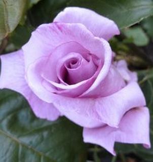 Роза чайно-гибридная Parfume Romeo Juliet многолетнее растение, Розы - купить в Киеве.