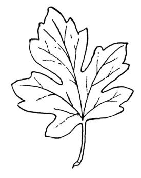 C:\Users\hp\Documents\ШКОЛА\КЛАССНОЕ РУКОВОДСТВО\золотая осень\кленовые листья\clen8.jpg