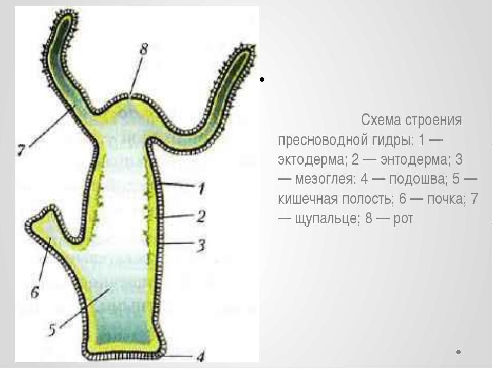 Схема строения пресноводной гидры: 1 — эктодерма; 2 — энтодерма; 3 — мезогле...