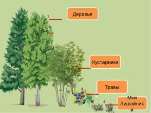 Деревья Кустарники Травы Мхи Лишайники 1___ 2__ 3__ 4__