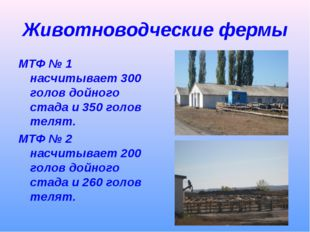 Животноводческие фермы МТФ № 1 насчитывает 300 голов дойного стада и 350 голо