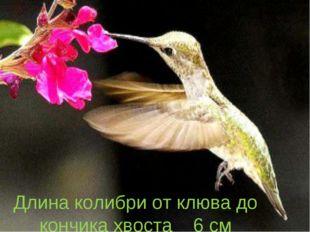 Длина колибри от клюва до кончика хвоста 6 см