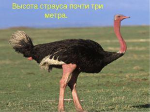 Высота страуса почти три метра.